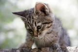 curious kitten - 64315636