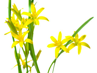Gagea lutea (Yellow Star of Bethlehem) the first wild spring flo