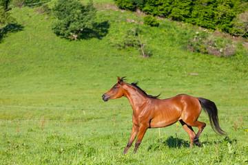 beautiful bay Arab horse runs on a green meadow