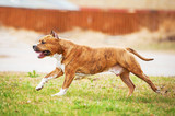 American staffordshire terrier running - 64317209