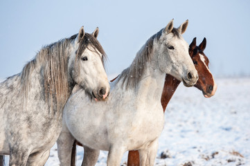 Portrait of three horses in winter