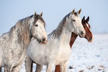 Portrait of three horses in winter
