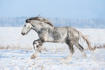 Beautiful grey shire stallion running in winter