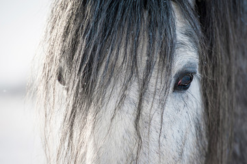 Portrait of grey shire stallion with long mane in winter