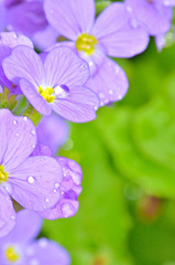 Lilac pansy flowers
