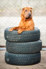 Sharpei dog sitting in wheels