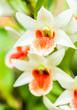 dendrobium orchid, chiangmai Thailand