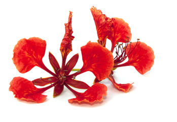 Flame tree flower isolated on the white background