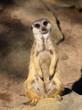 alert meerkat on watch in an australian zoo
