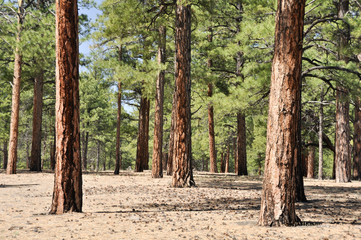Pine forest, Sunset Crater Volcano National Monument, Arizona