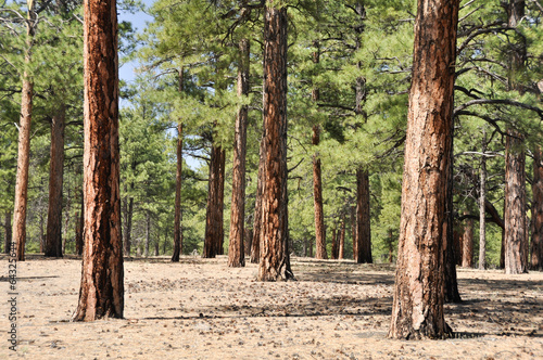Fotobehang Natuur Park Pine forest, Sunset Crater Volcano National Monument, Arizona