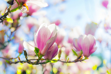 Beautiful blossoming magnolia tree in the spring time