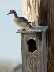 Nesting Wood Duck