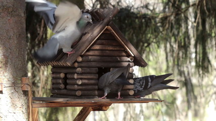 Pigeons fighting over food in a manger. St. Petersburg. Russia