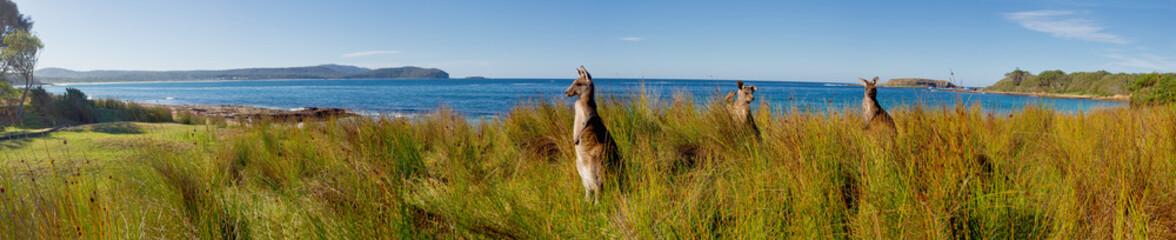 kangaroos on watch at an australian beach