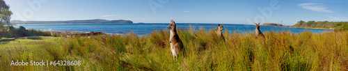 Poster Oceanië kangaroos on watch at an australian beach