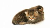 funny kitten meows poster