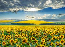 Lever de soleil sur les champs de tournesol