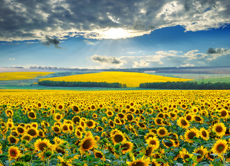 Sunrise over sunflower fields