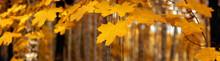 "Постер, картина, фотообои ""Yellow autumn maple leaves – banner, panoroma"""