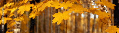 Poster Bossen Yellow autumn maple leaves – banner, panoroma
