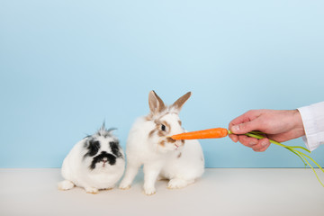 Vet lures rabbits with carrot