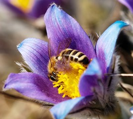honeybee on pasqueflower