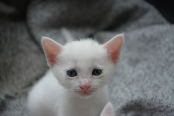 white thai kitten ,thai cat