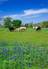 Meadow filled with bluebonnets  near Brenham,Texas