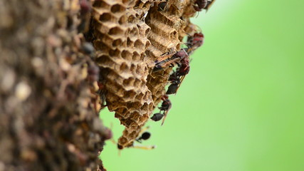 Close up wasps minding their hive extreme