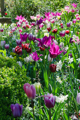 Garden with pink and purple tulips