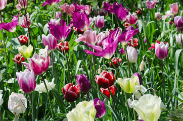 Garden with pink, white and purple tulips