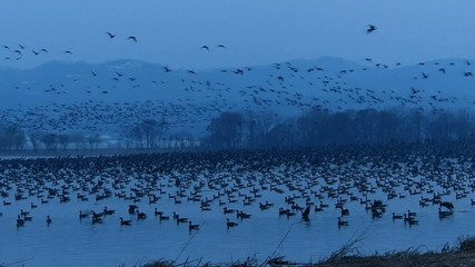 飛び立って北へ向って飛んで行く渡り鳥の群れ