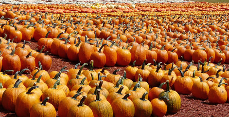 Rows of Colorful Pumpkins