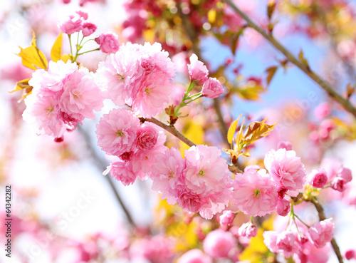Papiers peints Cerises Sakura. Cherry Blossom