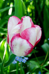 Close-up of a pink and white tulip