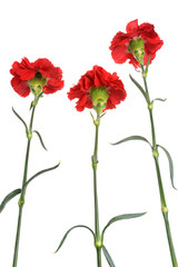 Three red cloves isolated