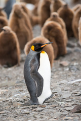 King penguin, South Georgia, Antarctica