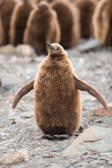 King penguin chick, South Georgia, Antarctica