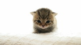 meowing kitten, close-up poster