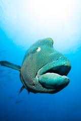 Close-up of Napoleon fish