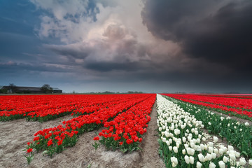 dramatic thunderstorm over tulip field in spring