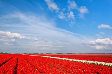 red tulip field and blue sky