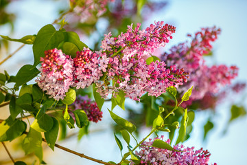 Purple Lilac flowers on spring sunny day. Syringa vulgaris.