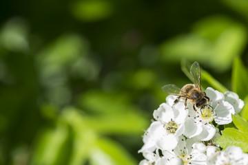 Makro Biene Auf Weißdorn Hintergrund