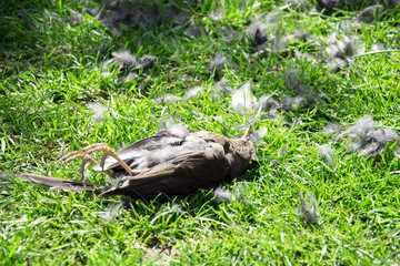 Dead blackbird