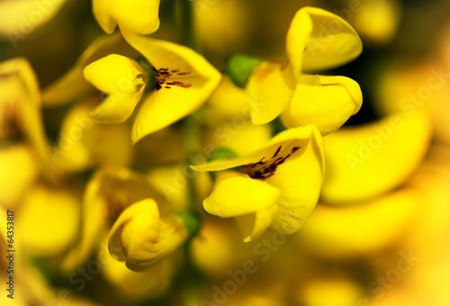 yellow acacia flower macro