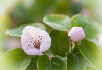 gentle quince tree white flowers