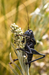 Mormon Cricket at Yellowstone National Park