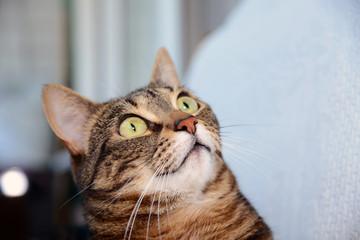Egyptian Mau cat - amazed